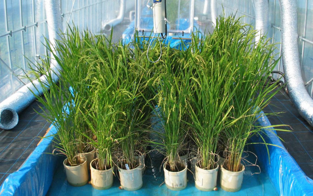 白未熟粒発生を抑制する栽培技術の確立1